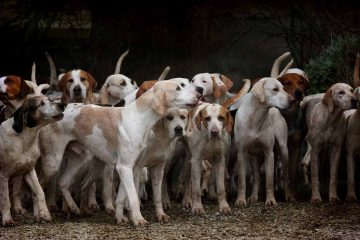 chien-chasse